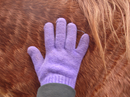 Purple glove against a horse's belly