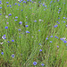 Lupin, cornflower, grass.